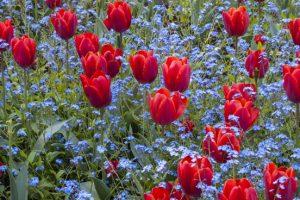 Tulpen met vergeet-mij-nietjes