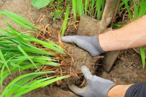 vaste planten scheuren, zoals de daglelie