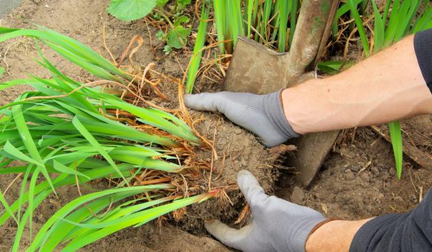Vaste planten scheuren