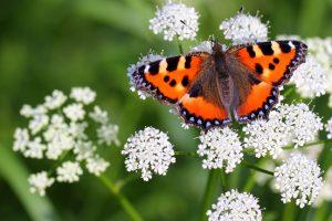 vlinder: kleine vos