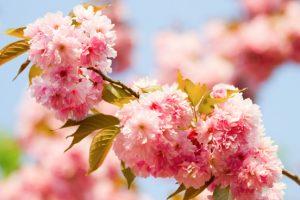 Sierkers Prunus serrulata Kanzan