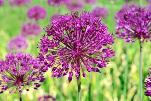 Alliums (sieruien) zijn toppers voor de juniborder