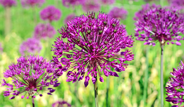 Glorietijd van de Alliums