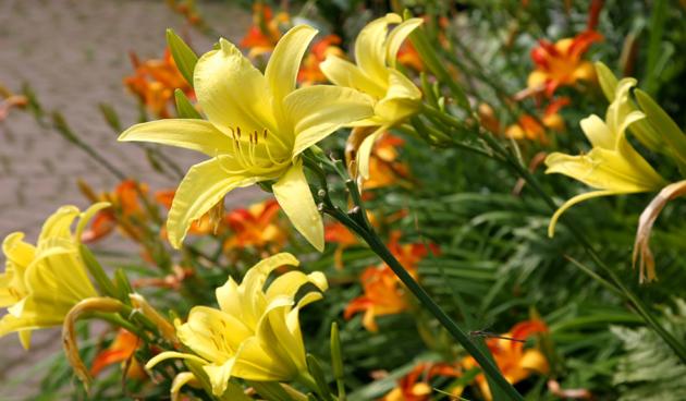 Daglelies, elke dag nieuwe bloemen