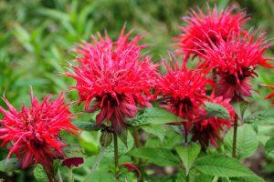 Mulchen kan bij planten als Monarda helpen tegen meeldauw