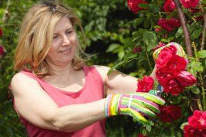 Uitgebloeide rozen uitknippen zorgt voor de aanleg van nieuwe knoppen