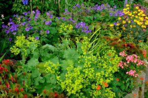 Vrouwenmantel en tuingeraniums geven een tweede bloei als je ze terugknipt