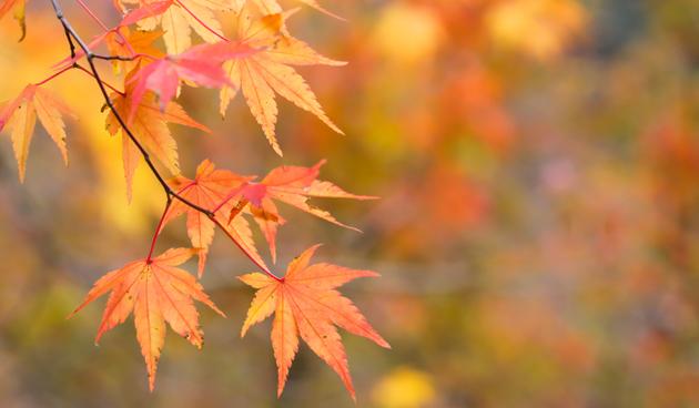 4 x Bomen met prachtige herfstkleur