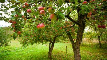 Breng in de herfst een lijmband rond fruitbomen aan