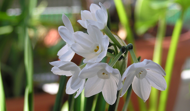 Pot Paperwhite narcissen op voor fleurige feestdagen