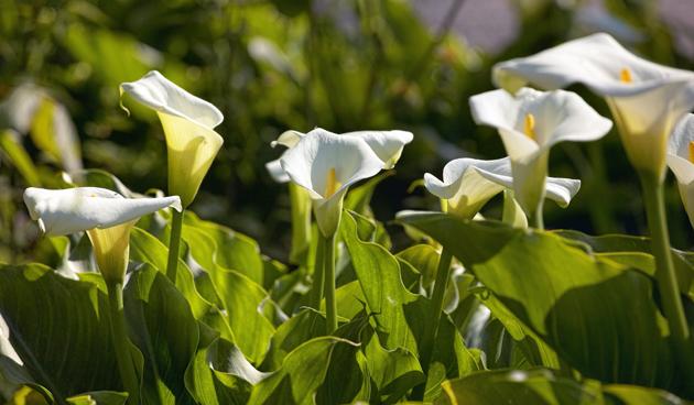 Zantedeschia aethiopica overwinteren