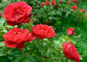 rozen snoeien: perkrozen
