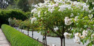 rozen snoeien: stamroos