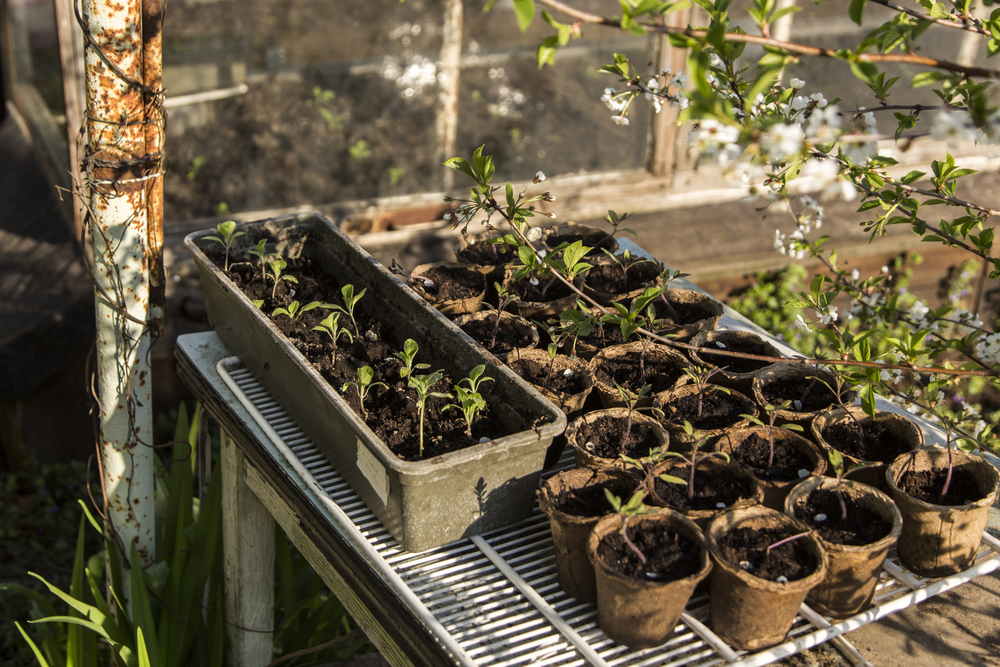 planten afharden, afharden, zaailingen, tuinseizoen