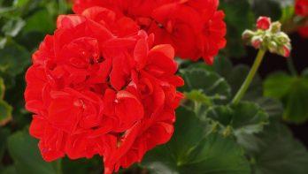 Kleur in de tuin: Rood
