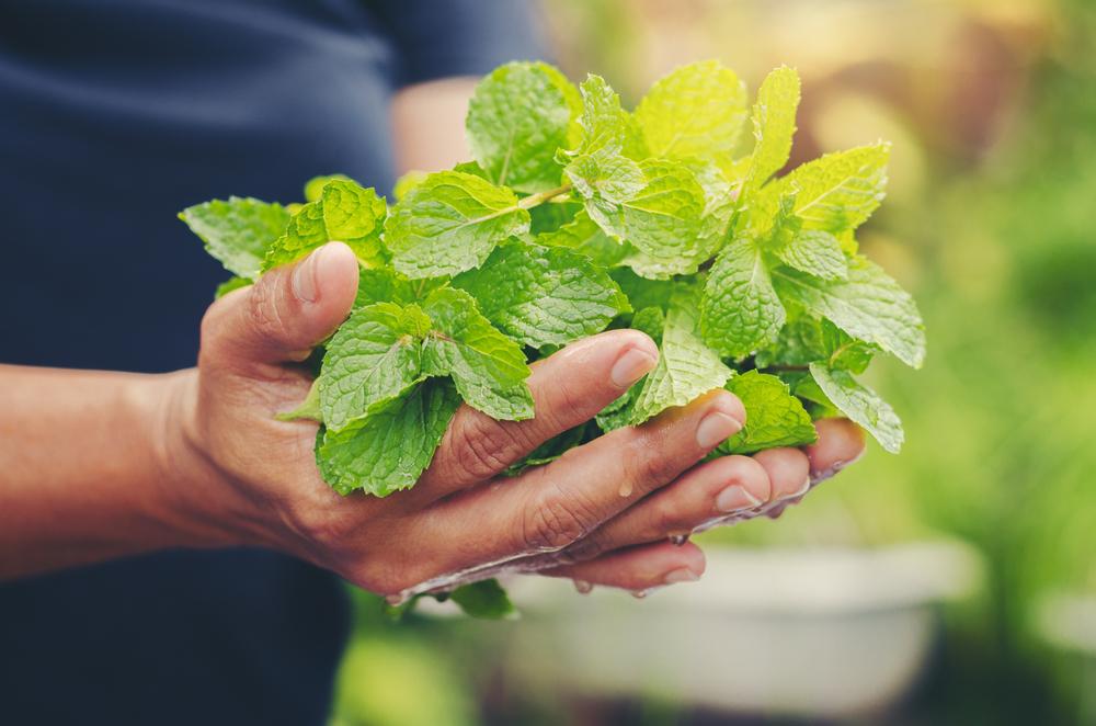 munt oogsten uit eigen tuin