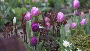 Combineren met tulpen