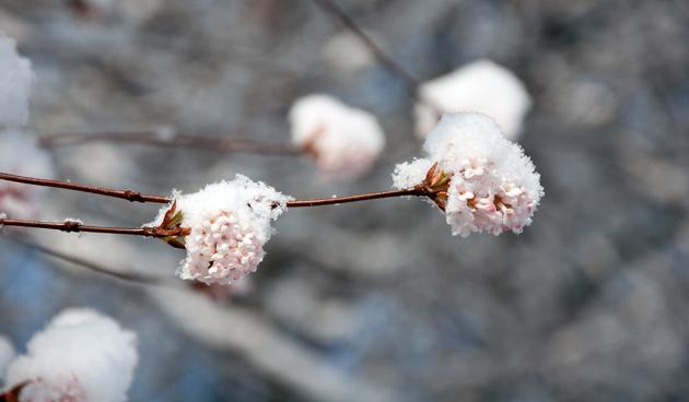 Roze sneeuwballen