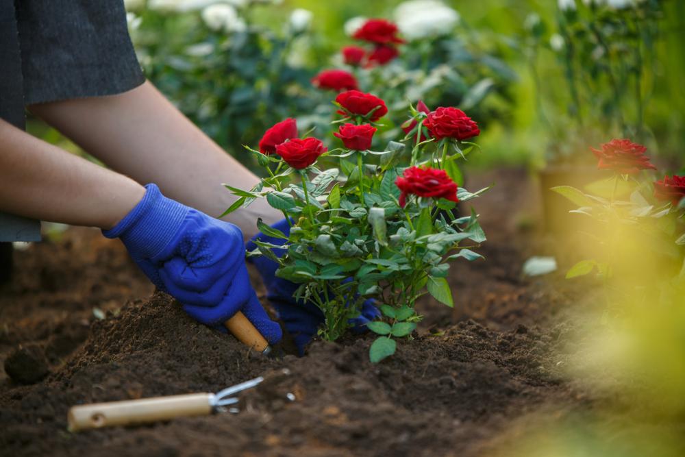 Roos verplanten, rozen, roos, planten