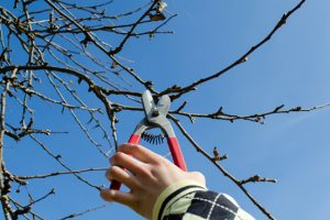 Fruitboom snoeien