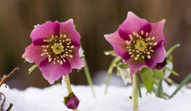 Prachtige winterbloeier: Helleborus