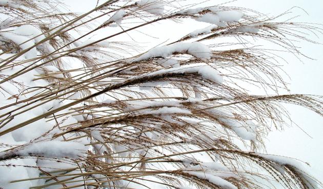 Siergrassen snoeien in de winter