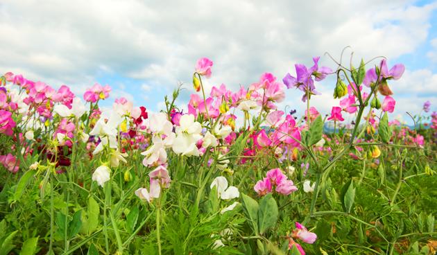Bloemen voorzaaien