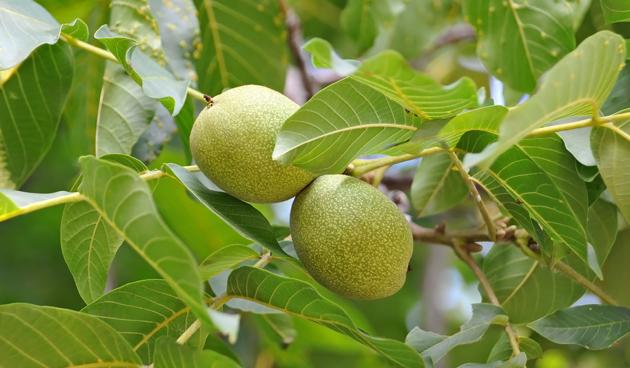 Beplanting onder walnotenboom