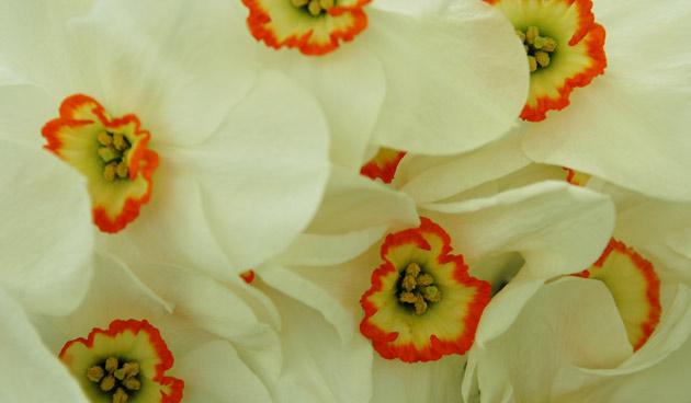 botanische soorten, recurvus,  mooie narcissen, tuinseizoen