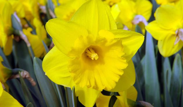 Trompetnarcis, mooie narcissen, tuinseizoen