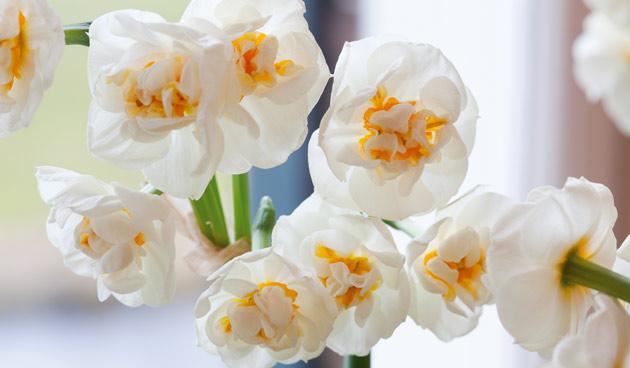 Dubbele narcissen groep,  mooie narcissen, tuinseizoen