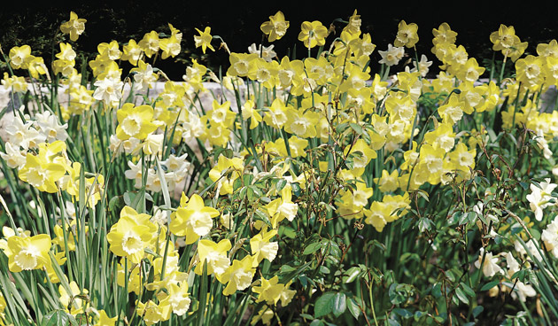 narcissus jonquilla groep, mooie narcissen, tuinseizoen