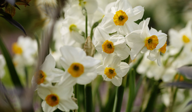 narcissus tazetta groep, mooie narcissen, tuinseizoen