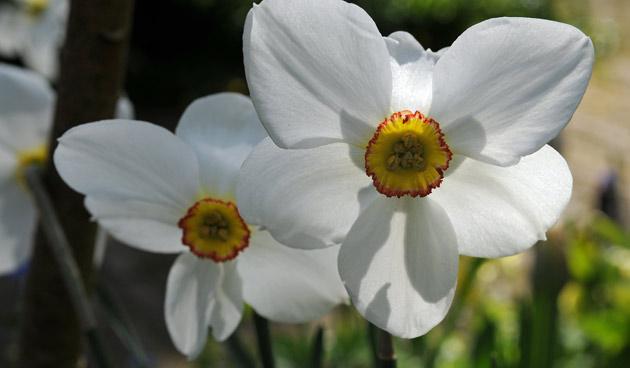 narcissus poeticus,  mooie narcissen, tuinseizoen