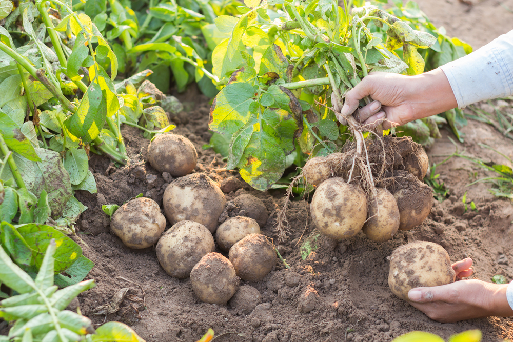 Aardappelen poten, TuinSeizoen