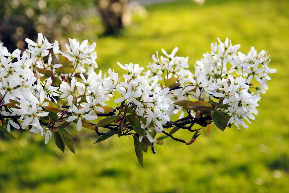 Amelanchier lamarckii, krentenboompje