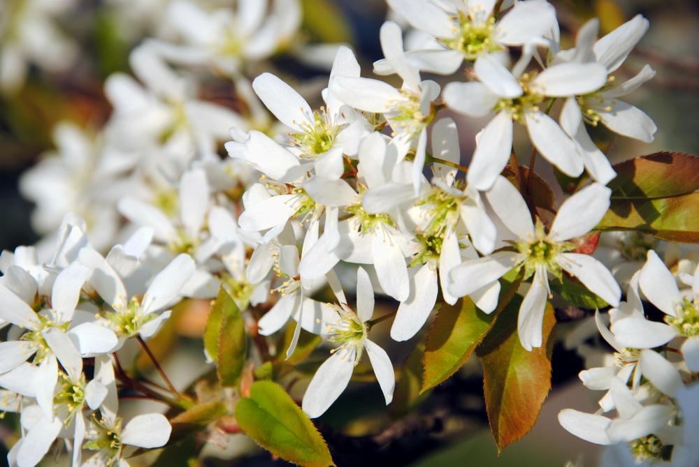 Amelanchier lamarckii, krentenboompje, tuinseizoen