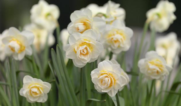11 x mooie narcissen voor deze lente