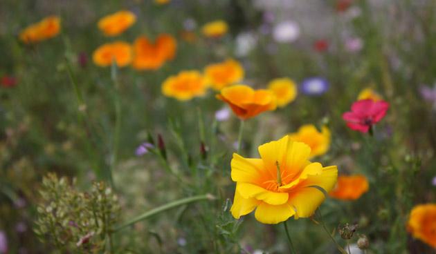 _Eenjarig-bloemenmengsel, oranje bloemen, tuinseizoen