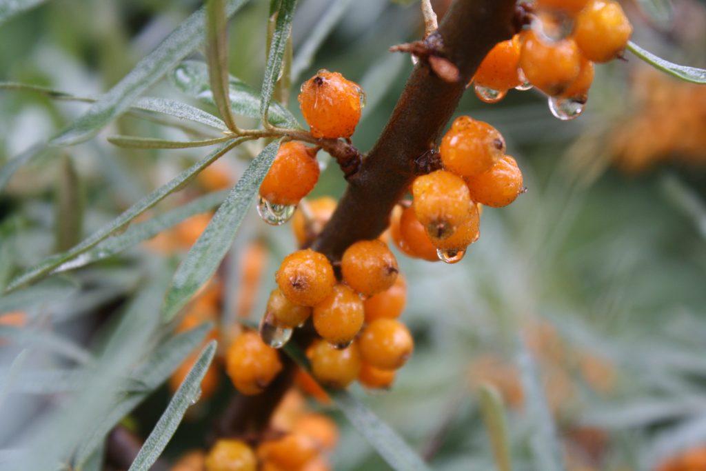Duindoorn, oranje bloemen, tuinseizoen