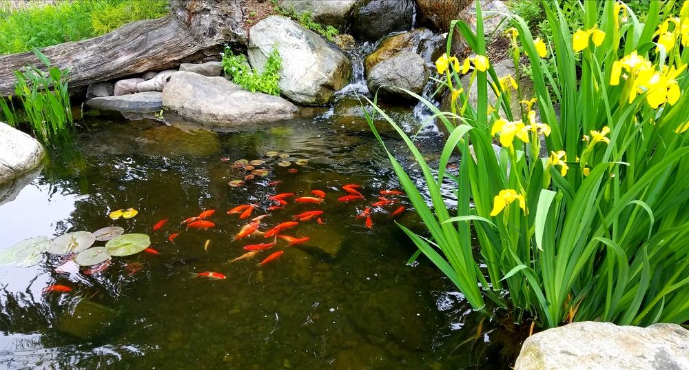 Vijver, vissen, tuinseizoen
