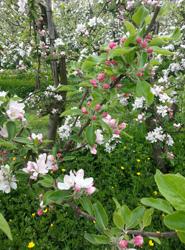 De boomgaard staat in bloei!