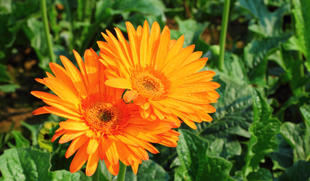 oranje-gerbera, oranje bloemen, tuinseizoen