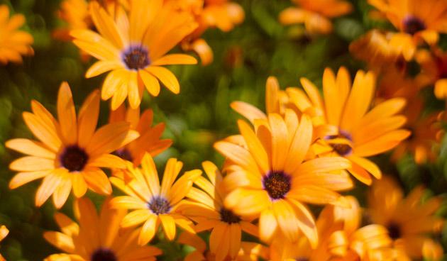 oranjebloemen, oranje bloemen, tuinseizoen