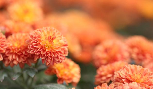 oranjeeshutterstock_630, oranje bloemen, tuinseizoen