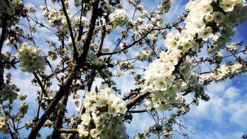 Prachtige en heerlijke fruitbomen