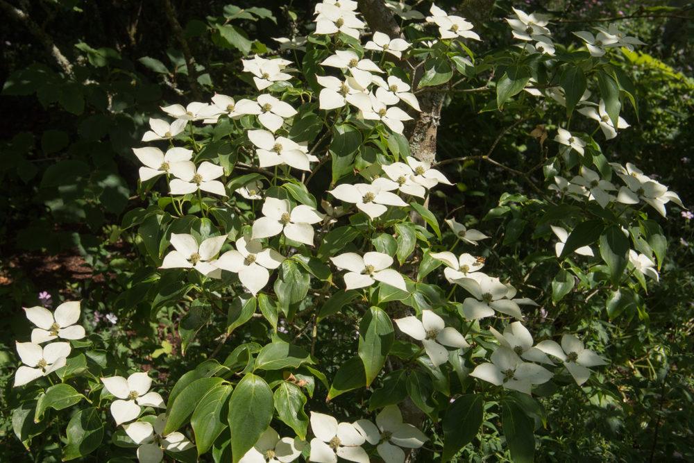 Cornus kouse Schmetterling, tuinseizoen