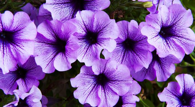petunia's , geur op het terras