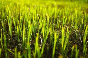gras inzaaien voor gazon