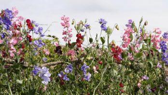 5 tips voor het kweken van lathyrus